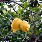 limoni Interdonato
